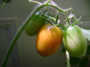 tomato18