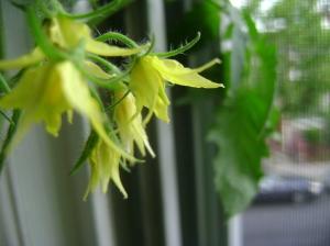 tomatoes16