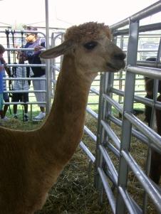 A llama with a funny haircut.